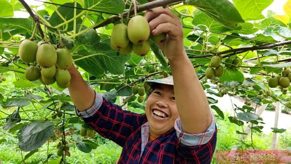 四川东红猕猴桃果园