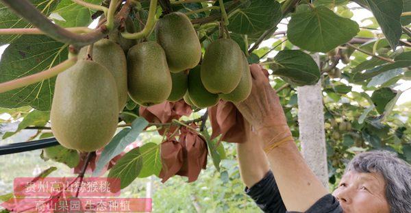 獼猴桃疏果 確保品質和效益提升