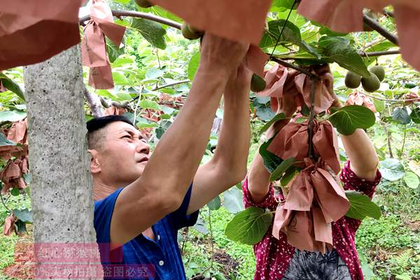 四川北川青片乡猕猴桃获评省级农业标准化示范区