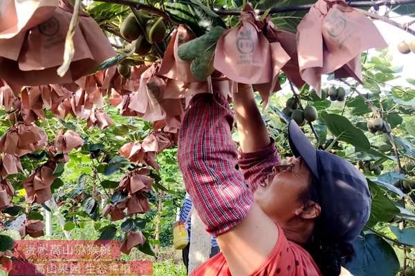 四川智慧农业显威力 红心猕猴桃增收明显