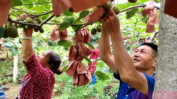 四川蒲江网红支书赵兴丽和她的蒲江小伙伴们 开启猕猴桃创富故事2.0版