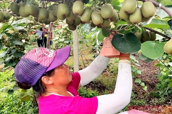 四川成都猕猴桃资深业者唐辉先生对当前猕猴桃产业发展思考
