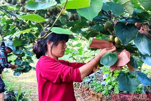 四川成都猕猴桃种植面积超20万亩