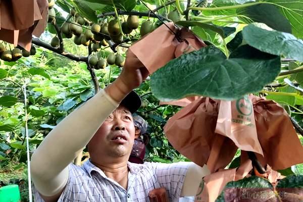 红心猕猴桃不到采摘期,成都最大水果批发市场却每天卖几十吨!到底害了谁?
