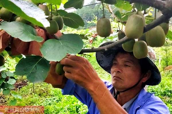 猕猴桃价格多少钱一斤桃