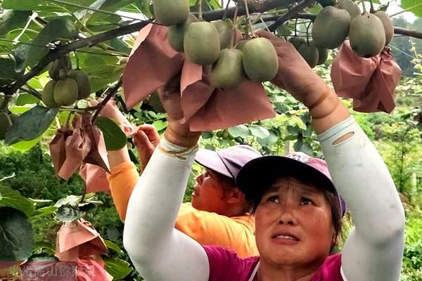 贵州遵义有机猕猴桃行业的实践者李亮
