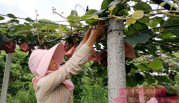 贵州贵州猕猴桃