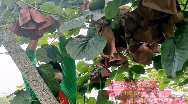 猕猴桃果园采摘