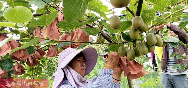 猕猴桃疏果 确保品质和效益提升