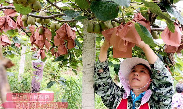 贵州遵义市播州区红心猕猴桃