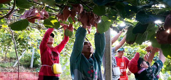 东红猕猴桃果园