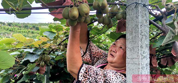 贵州猕猴桃丰收