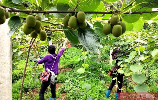 贵州猕猴桃夏季修剪