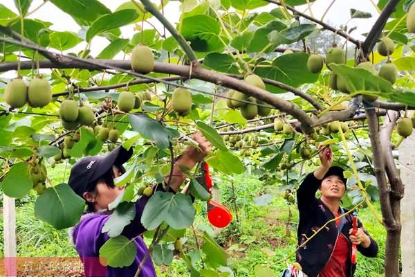 一篇关于山东猕猴桃发展和品种选择的文章