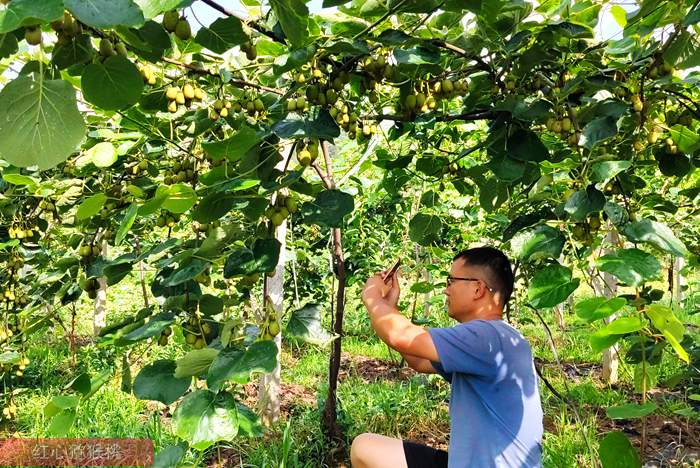 浙江有机猕猴桃夏季修剪