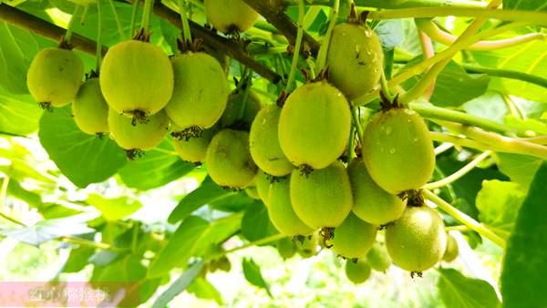 湖北赤壁神山兴农科技有限公司成立于2009年4月 从事高端优质黄心猕猴桃生产