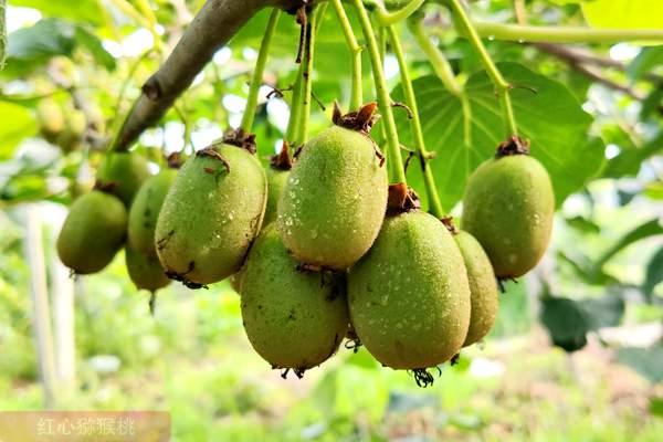 在贵州省遵义市习水县良村镇茶园村 百亩有机猕猴桃正忙碌着给金三奇异果疏果
