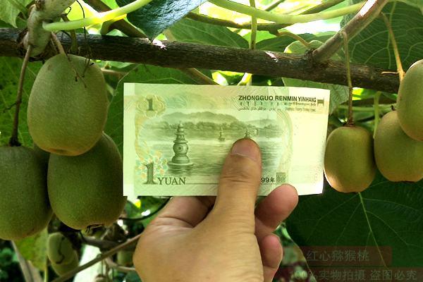猕猴桃果实大小