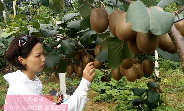贵州省毕节市金海湖万多亩野生有机猕猴桃自然资源为产业发展