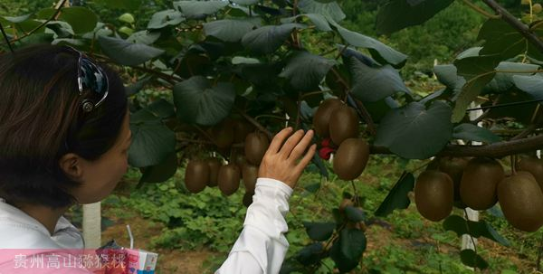 贵州高山红心猕猴桃果园