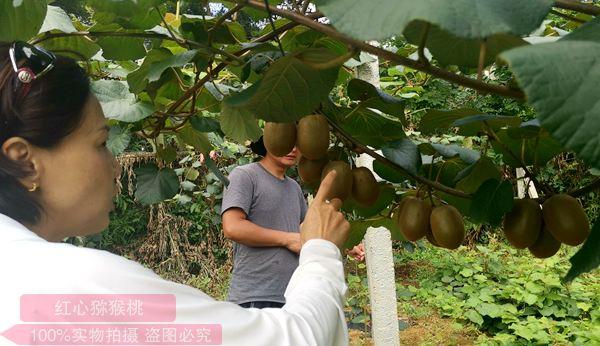 贵州高山红心猕猴桃价格