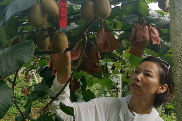 贵州遵义猕猴桃
