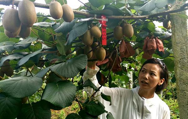 贵州贵阳修文县举行现代农业发展交流暨猕猴桃投资招商洽谈会