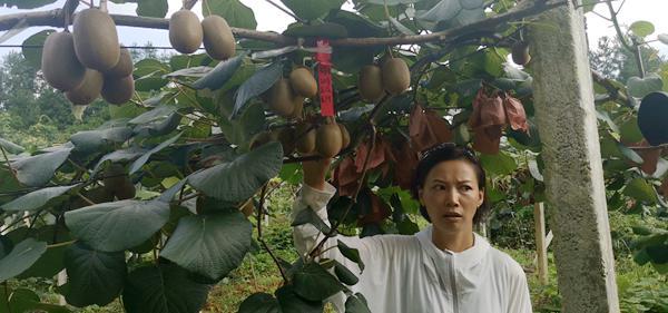 大数据、大数据 但贵州贵阳修文农投留下一屁股猕猴桃欠款到底什么时间可以发到农民手上
