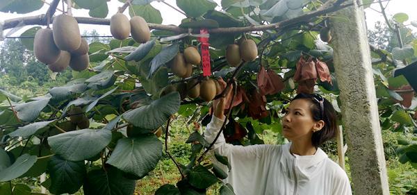 贵州贵阳清镇:千亩猕猴桃 托起致富梦