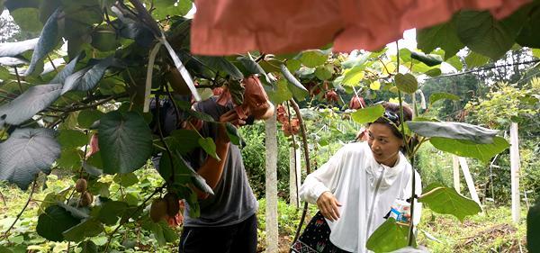 云南瑞丽市育秀猕猴桃专业合作社的红心猕猴桃种植基地农户盼丰收