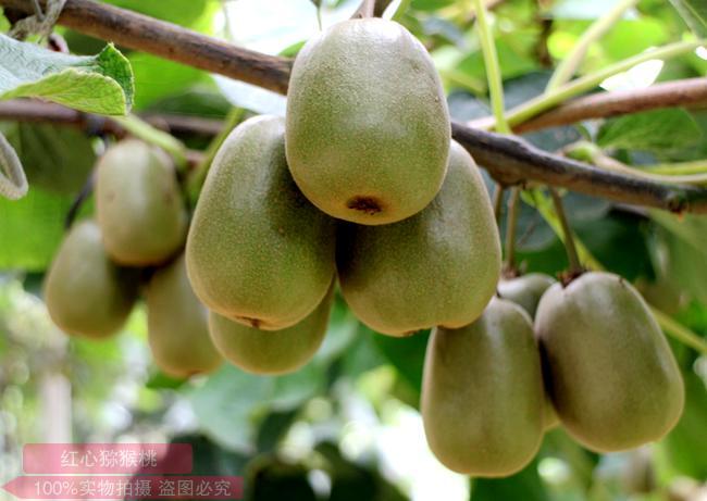 贵州阳光金果G3猕猴桃