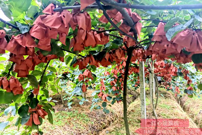 红心猕猴桃采摘园在哪里联系电话