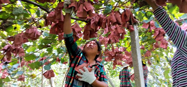 云南文山百亩红心猕猴桃丰收在望 农民增收显著