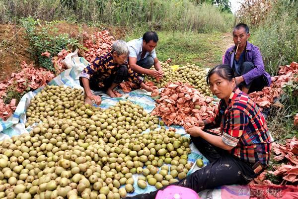 红心猕猴桃没熟能吃吗现代农业生产经营机制