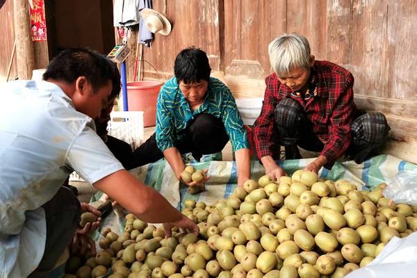 贵州遵义猕猴桃基地 冬季管理实操方案