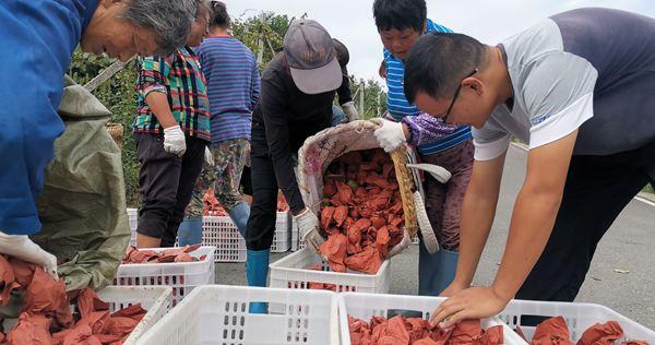 贵州红心猕猴桃收获