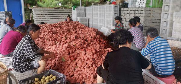 白色白色2视频在线毕节赫章县红心白白色扶贫产业 果品花粉两丰收