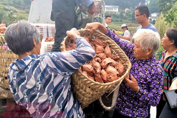 浙江绍兴上虞章镇举办2020红心有机猕猴桃开摘节