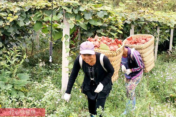 四川省眉山市彭山区义和乡悦园村万亩红心猕猴桃进入丰收采摘期