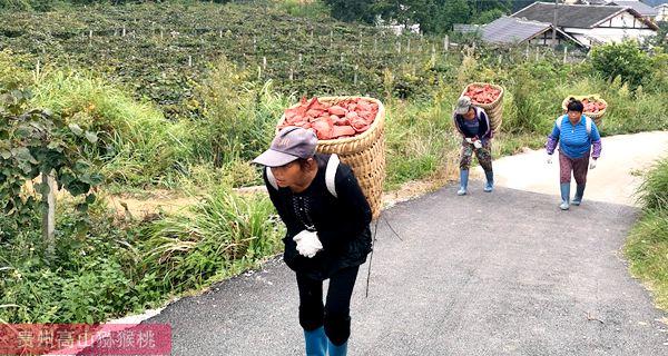 湖南省汨罗市黄心猕猴桃快速成长