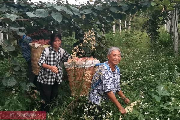 四川广元苍溪一颗小小的红心猕猴桃增收脱贫