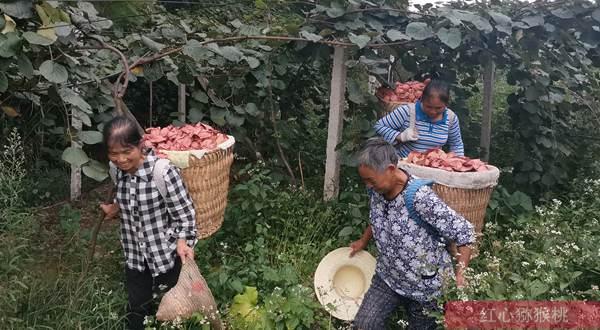 湖北赤壁神山镇大力发展猕猴桃种植 取得初步成效