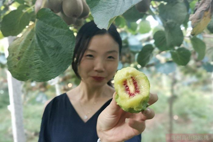 带领工人们在园里采摘红心猕猴桃果