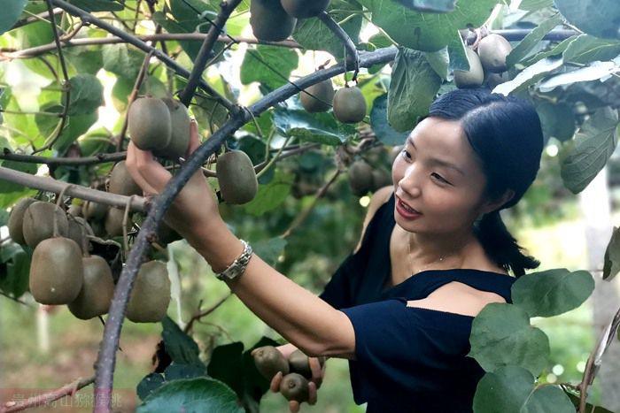 重庆市秀山县高端猕猴桃全面进入采摘期