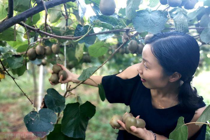 金秋十月 河南西峡引来了白白色采摘季节