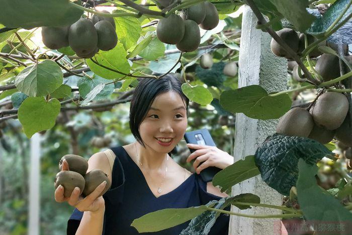 基地里搞起了红心黄肉猕猴桃就可以大量采摘上市