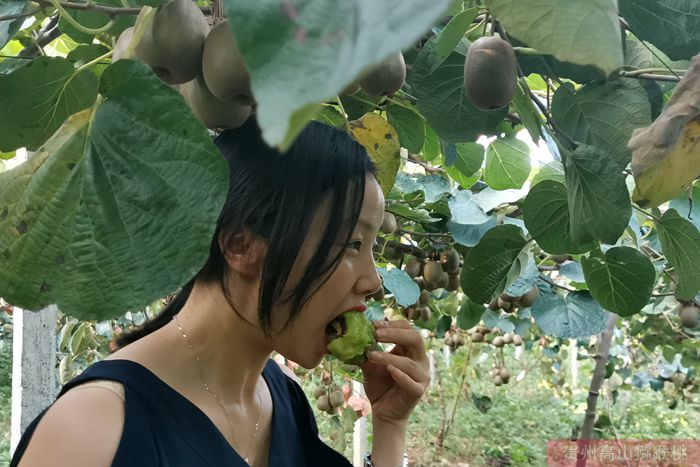 红心猕猴桃品尝