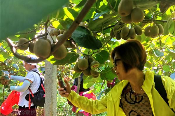 重庆猕猴桃采摘