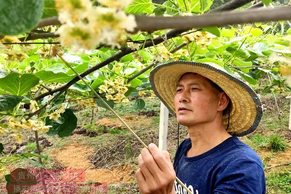 白白色花粉活力及人工授粉技术研究