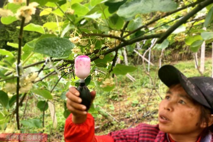 猕猴桃花粉原位生长过程中的超微细胞化学定位